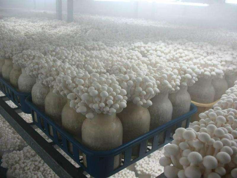 如何使用冷库种植金针菇?